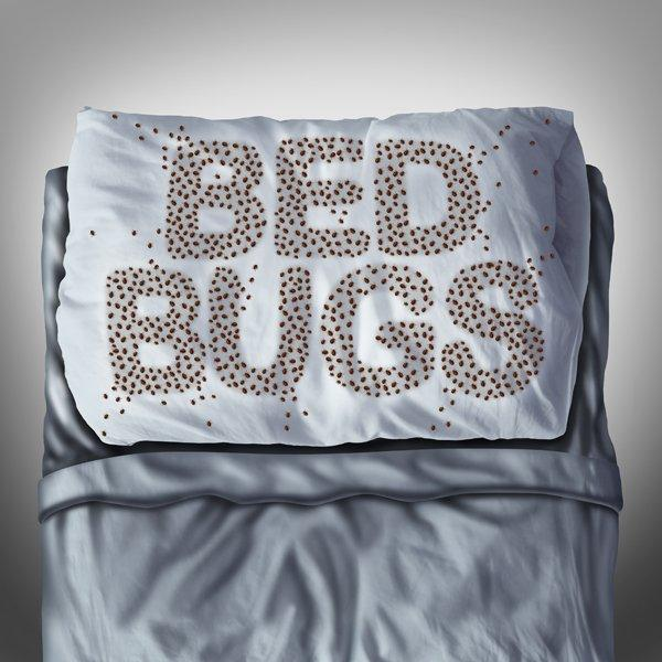 Bed bug on pillow and in bed