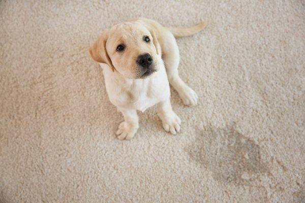 dogs urine
